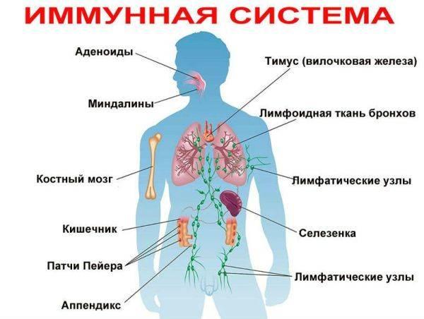 Связь между старением, кишечником и аллергией
