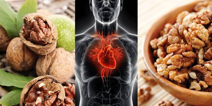 Сердце человека на схеме и грецкие орехи
