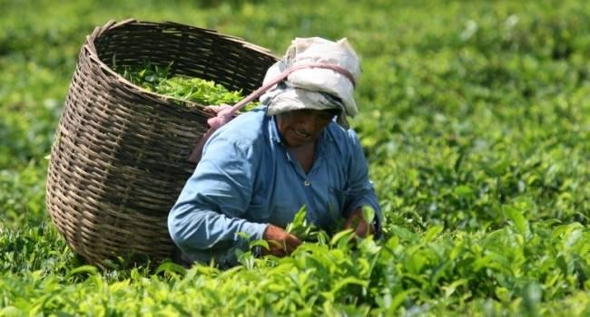 Черный чай против зеленого чая: что полезнее