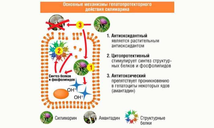 Польза и лечебные свойства шрота расторопши для организма