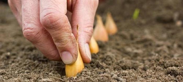 Дачник правильно сажает лук севок