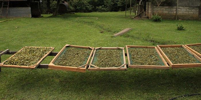 Завяливание цейлонского крупнолистового чая