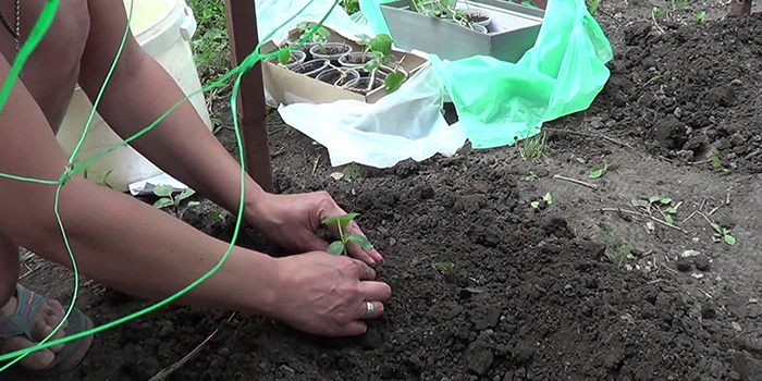 Женщина сажает огурцы в открытый грунт