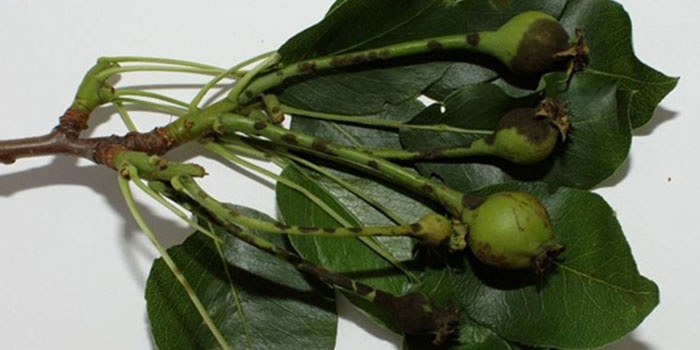 Мелкие плоды груши, пораженные грибком