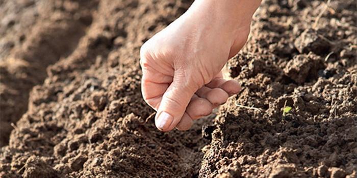 Человек сажает огурцы семенами в открытый грунт