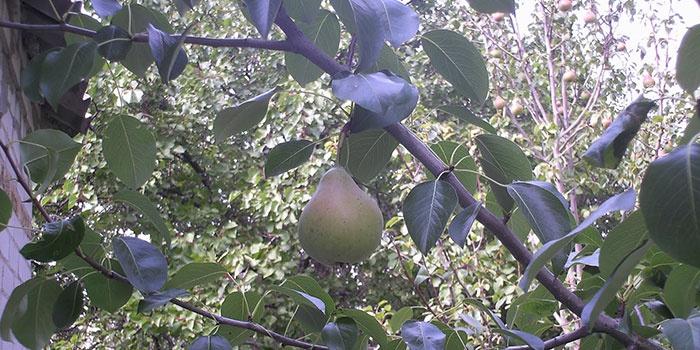 Плод груши висит на дереве