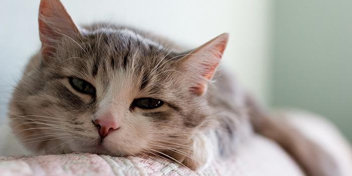 причины немоты у кошек