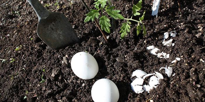 Удобрение огорода яичной скорлупой