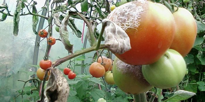 Фитофтороз помидор после дождя
