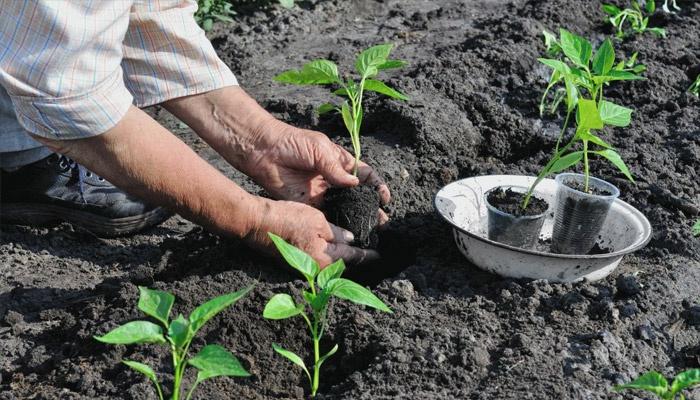 Посадка растения в огород