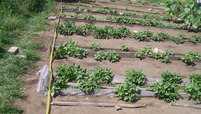 Дачный огород