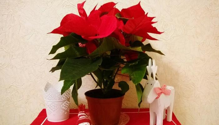 Цветок рождественская звезда размножение в домашних условиях 54