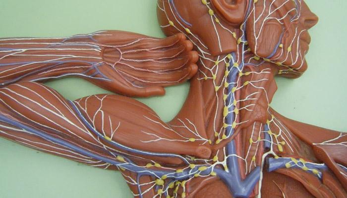 Манекен для изучения анатомии