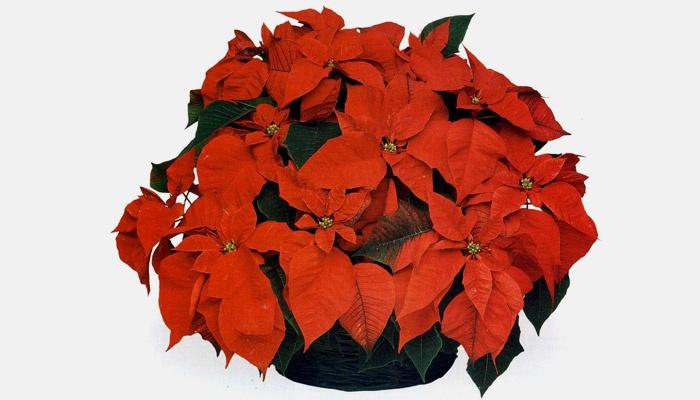 Цветок рождественская звезда размножение в домашних условиях 50