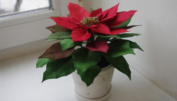 Цветок рождественская звезда размножение в домашних условиях 192