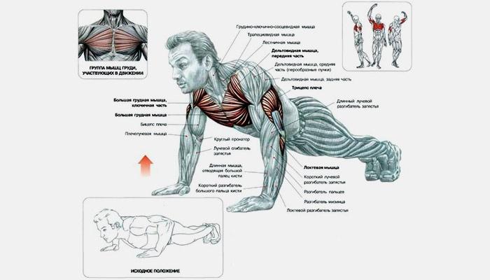 Мышцы, задействованные во время отжимания