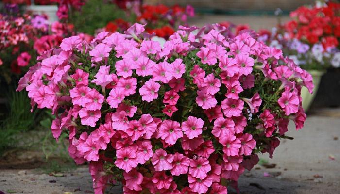 Цветы петунии