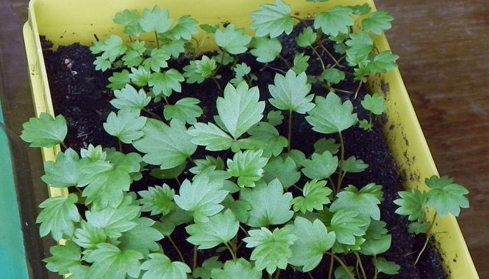 Земляника александрина выращивание из семян в домашних 26