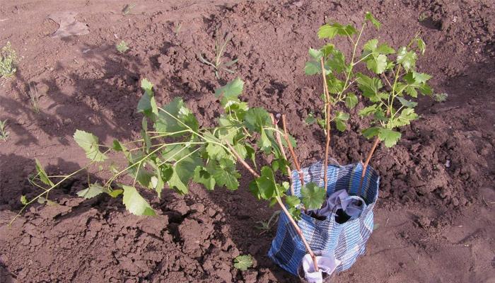 Посаженный виноград