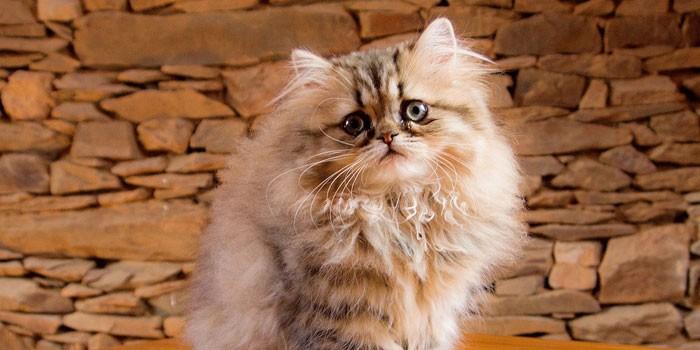 Котенок персидской породы