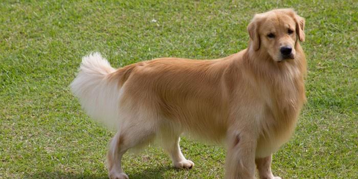 Взрослая собака