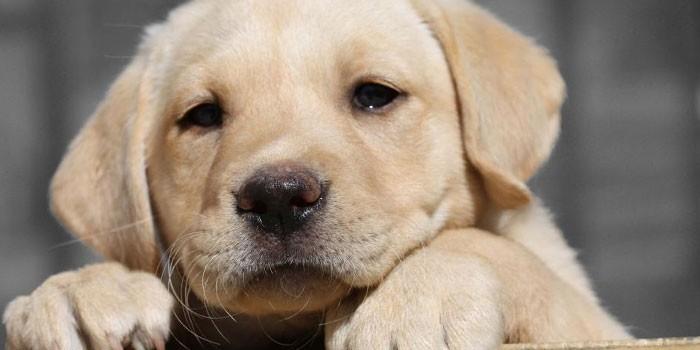 Собака породы Лабрадор ретривер