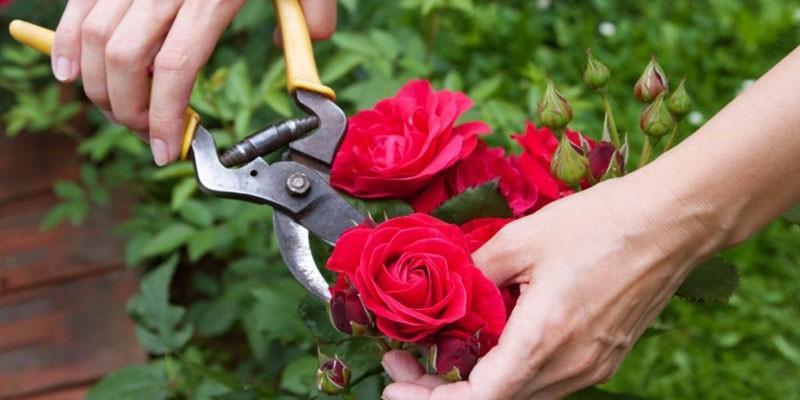 Женщина обрезает садовую розу