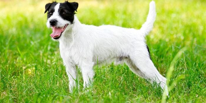 Собака породы Парсон рассел терьер