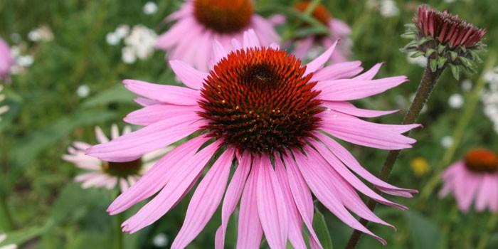 Цветки эхинацеи пурпурной