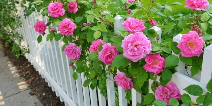 Чайные розы в саду