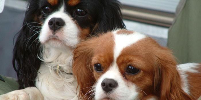 Собаки породы кинг-чарльз-спаниель