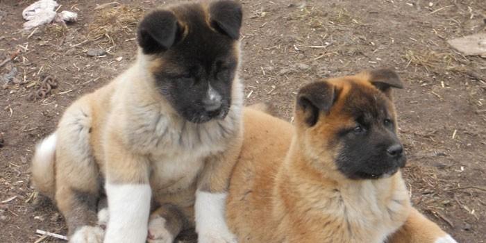 Два щенка породы американская акита-ину