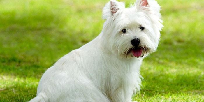 Взрослая собака вестхайлендского белого терьера