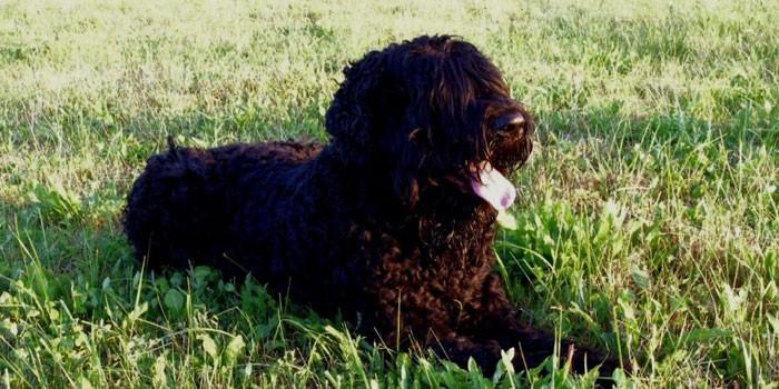 Собака породы русский черный терьер