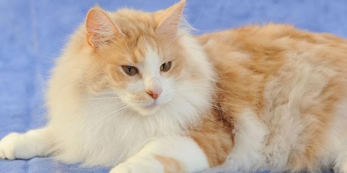 Ангорская кошка - фото и описание породы, характер и цена