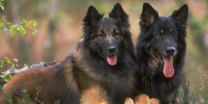 Две собаки породы Тервюрен