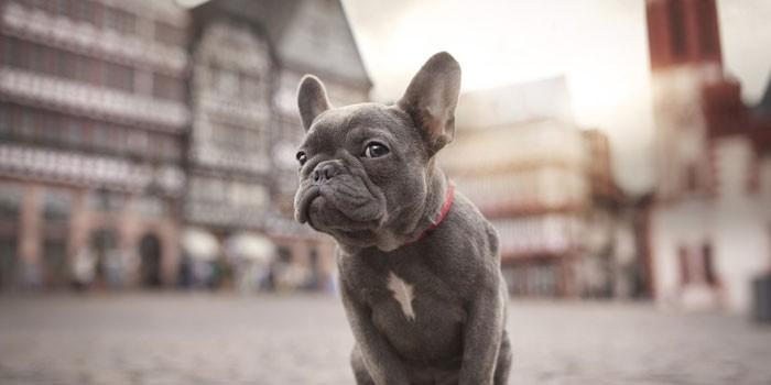 Французский бульдог серого цвета