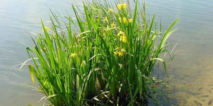 Аир болотный в водоеме
