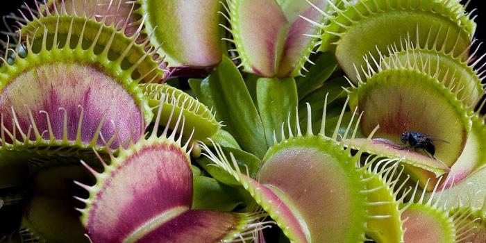Растение венерина мухоловка