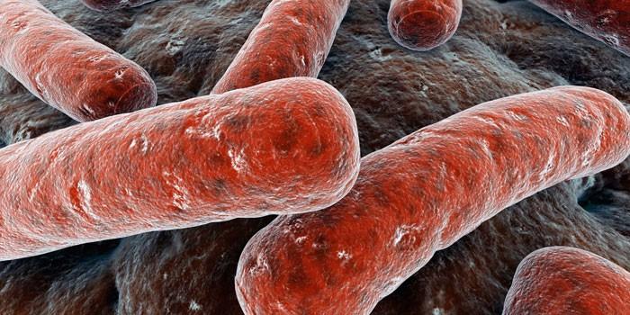 Бактерии Mycobacterium tuberculosis