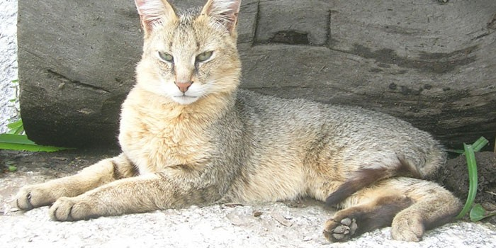 Кот хаус