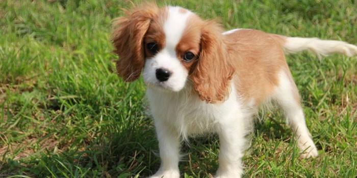 Собака породы Кинг-чарльз-спаниеля