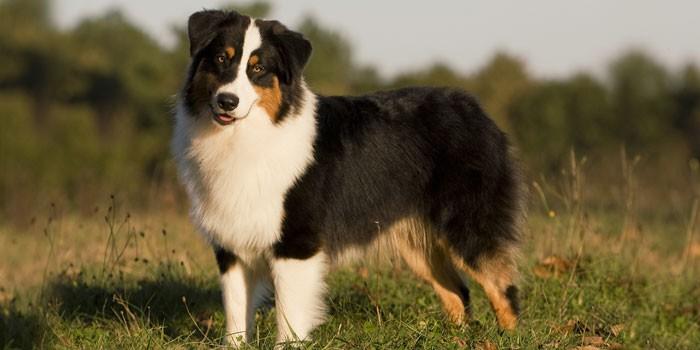 Пес аусси