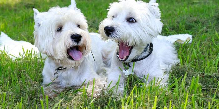 Собаки породы вест-хайленд-уайт-терьер