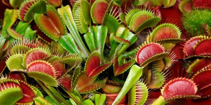 Растение Дионея