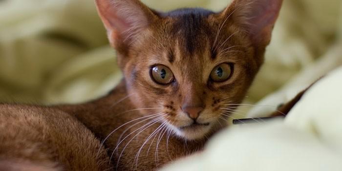 Абиссинская порода кошки