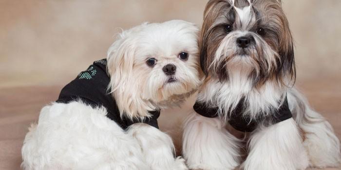 Два породистых пса