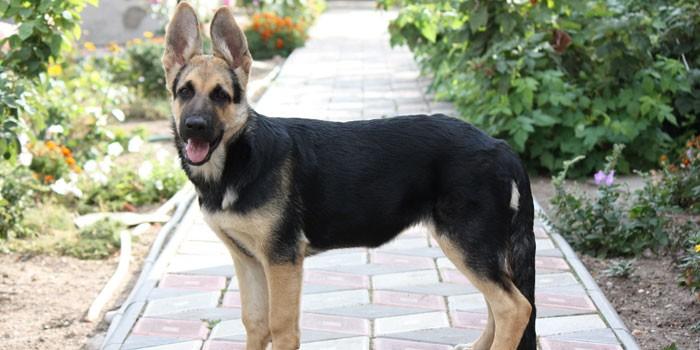 Собака породы восточноевропейская овчарка