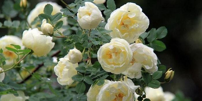 Чайная роза домашний цветок 165