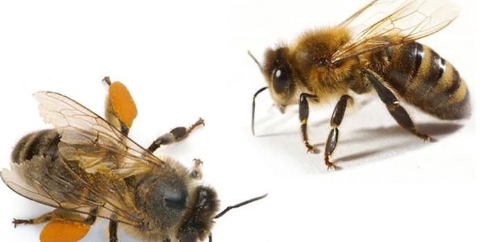 Две пчелы